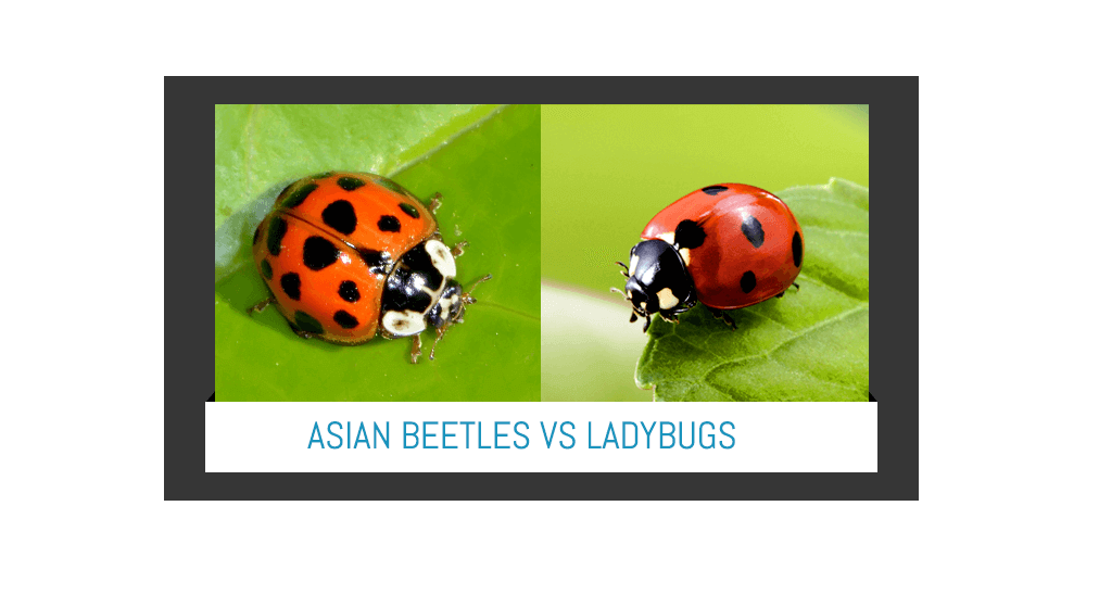 asian-lady-beetle-versus-ladybugs