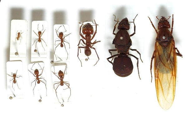 Llife cycle of carpenter ant