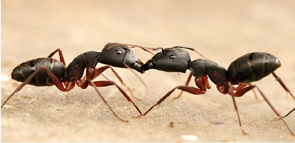 adult-ants