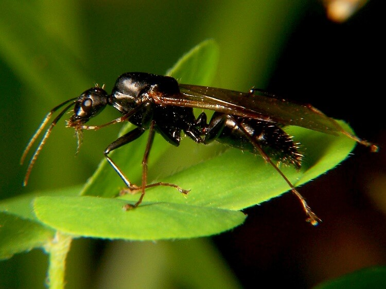 black-Carpenter Ants