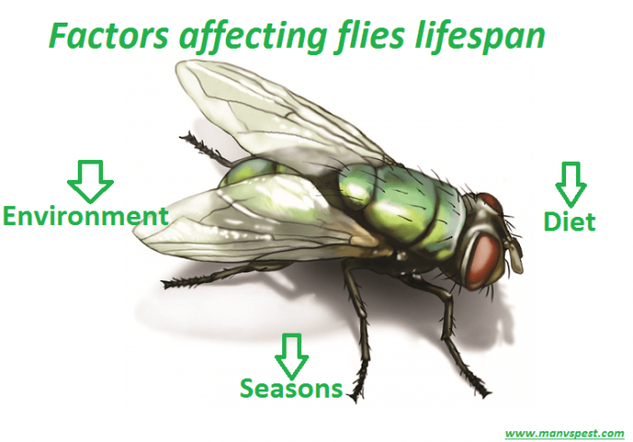 Factors affecting flies lifespan