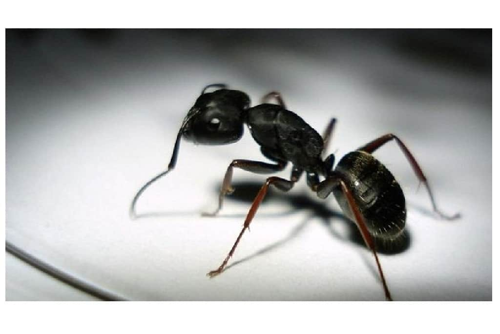 black-ants-picture