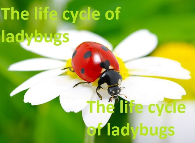 The life cycle of ladybugs