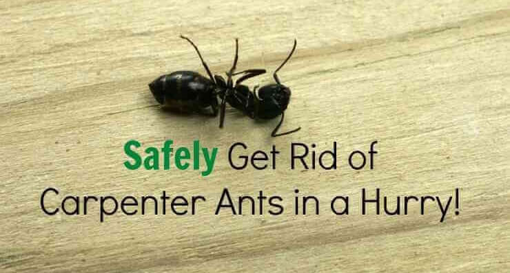 How to getting rid of Carpenter Ants