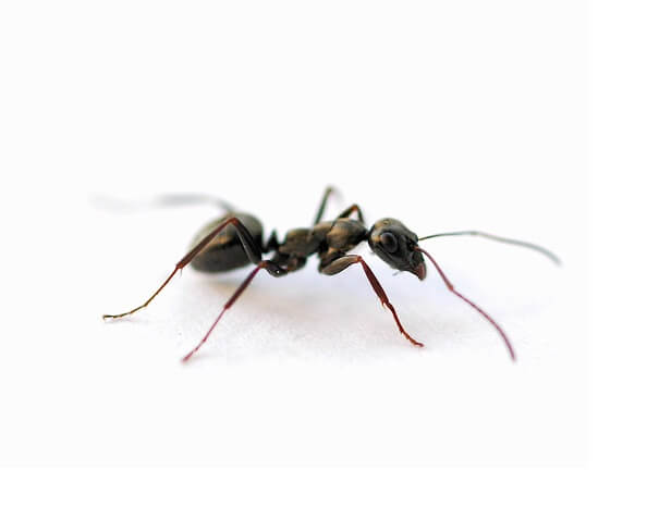 little black ant