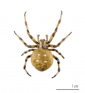 common house spiders