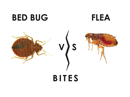 Flea Bites Vs Bed Bug Bites Distinguished With Photos Table