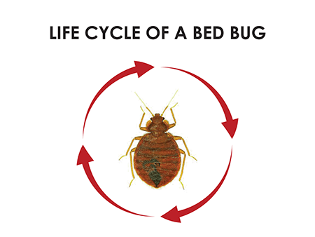 stages of bed bugs