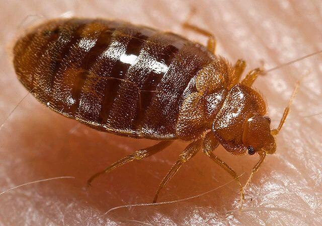 bedbug before feeding