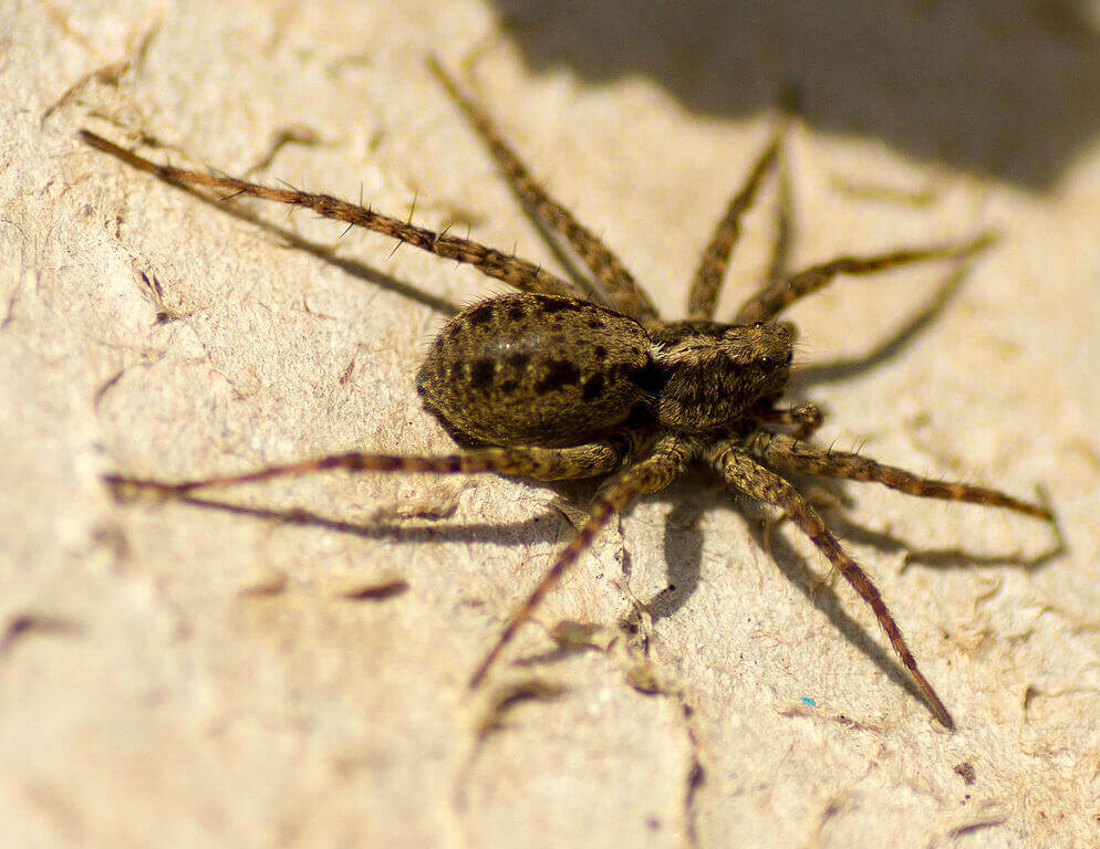 Wolf Spider (female)