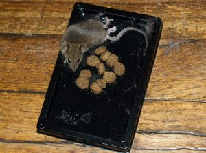 Sticky traps for rat
