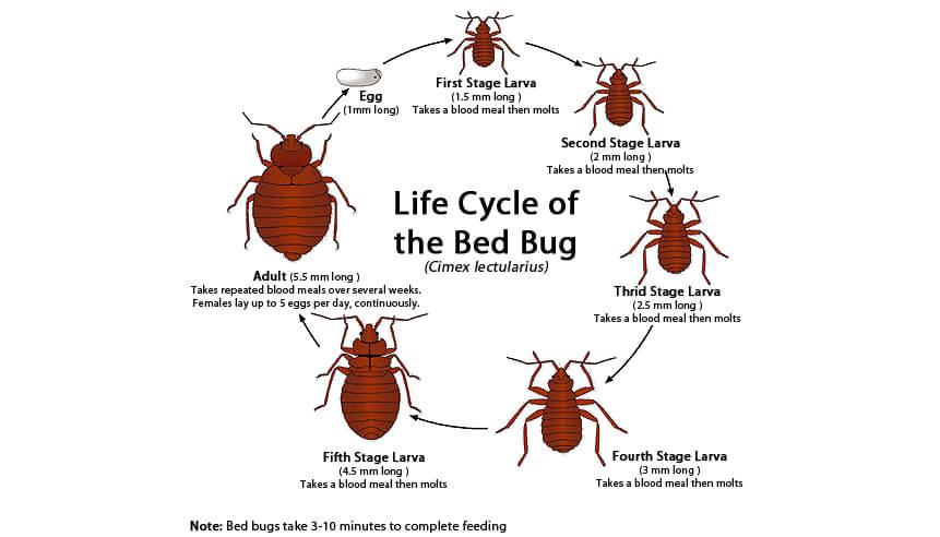 Life Cycle of a Bedbug