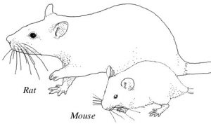 A rat and a Mouse