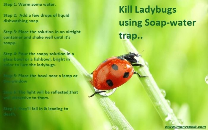 how to kill ladybugs