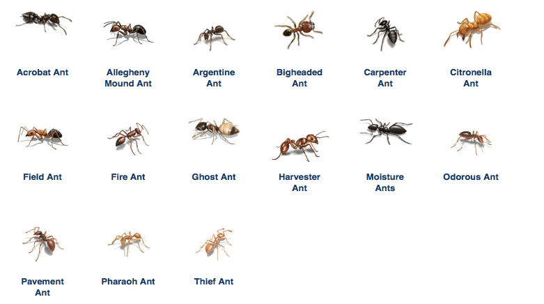 types of ant