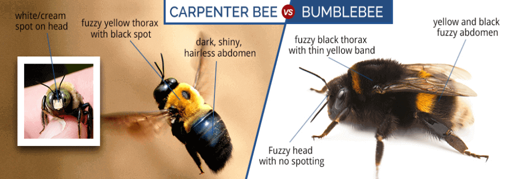 How to Differentiate Carpenter Bees from Bumble Bees