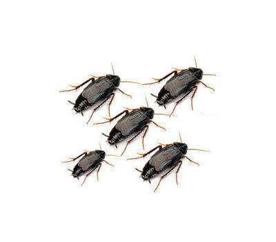 Oriental Cockroach: Identification and How to control