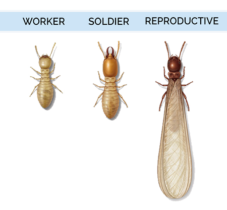 What are termites (characteristics and appearance)?