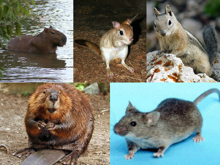 Different Classifications of Rodents