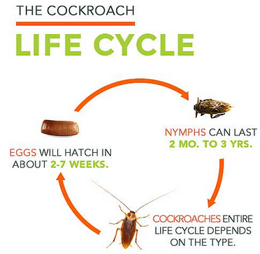 life-cycle-cockroach