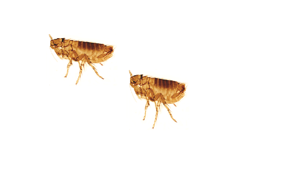 What Do Dog Flea Bites Look Like On Humans