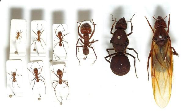 Llife cycle of carpenter ant