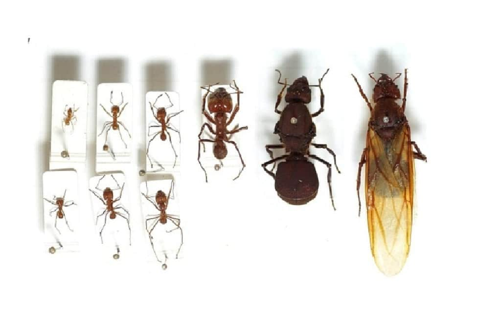 Get Rid Of Big Black Carpenter Ants Simple Guidelines