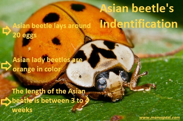 Identifying Asian Lady beetle