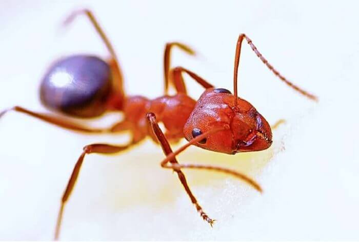 get-rid-of-fire-ants