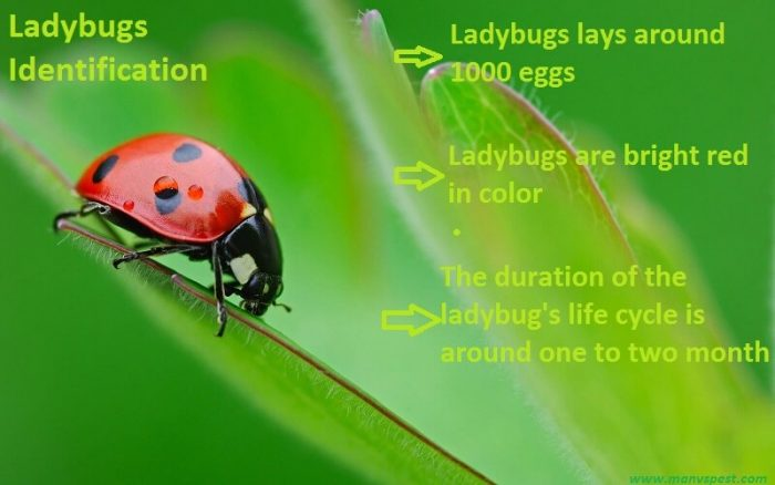 Identifying Ladybugs