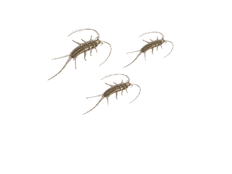 silverfish-life-cycle