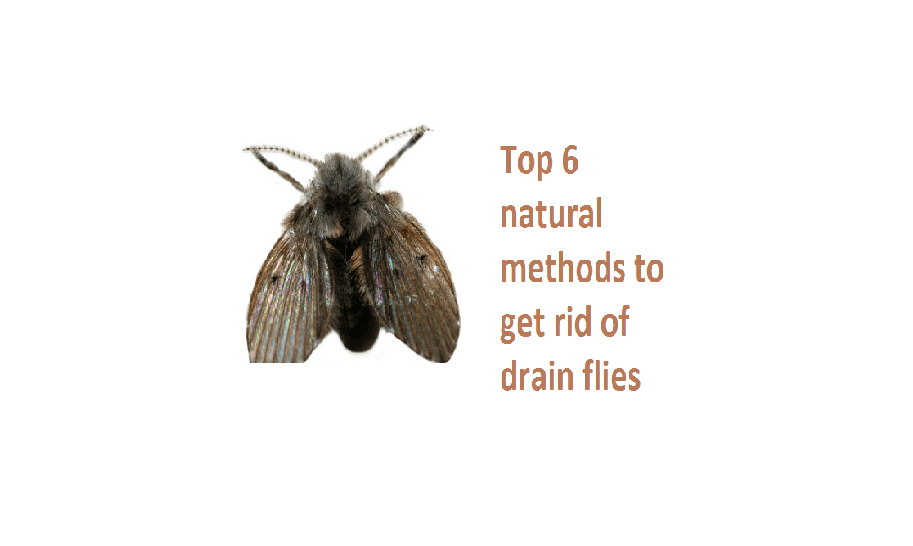 Get Rid Of Drain Flies Top 6 Natural Amp Fastest Methods