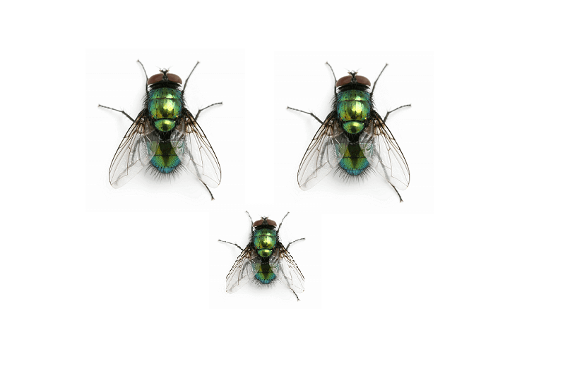 life cycle of flies