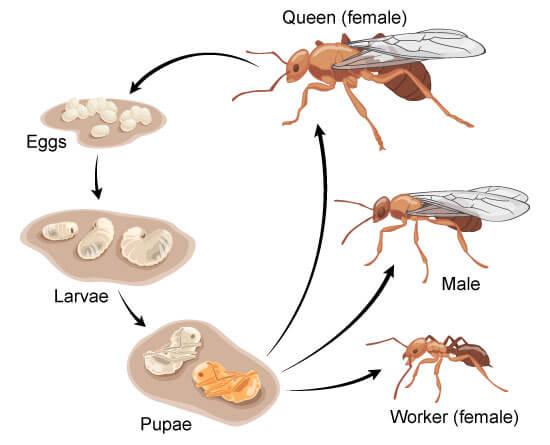 life_cycle_ants