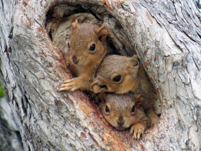 where do tree squirrels live
