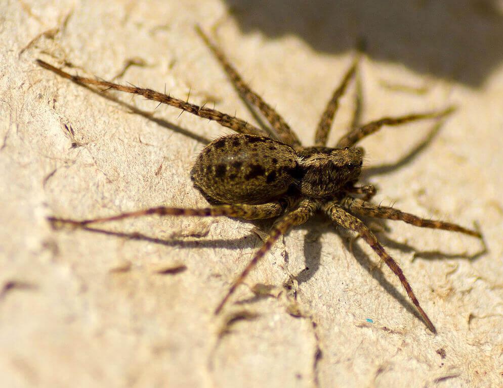 Wolf Spider (female)