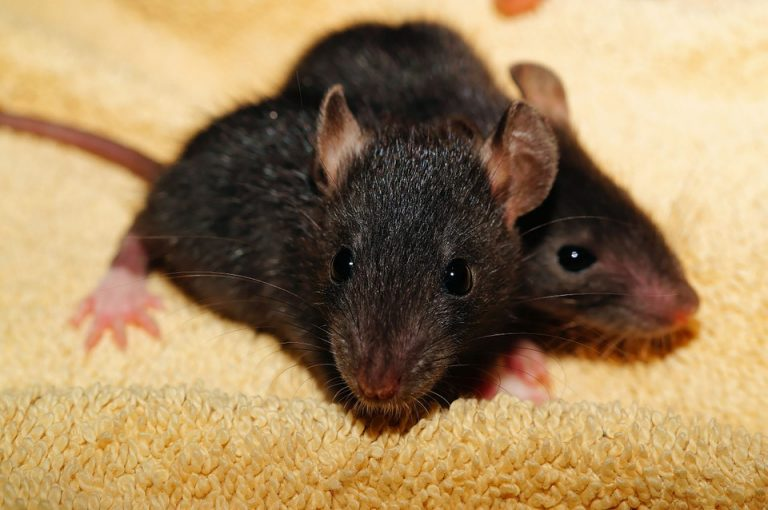 Rats and mouse
