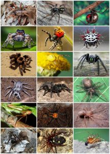 Different kinds of Spider