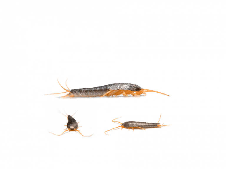 The Ultimate Guide To Control Silverfish