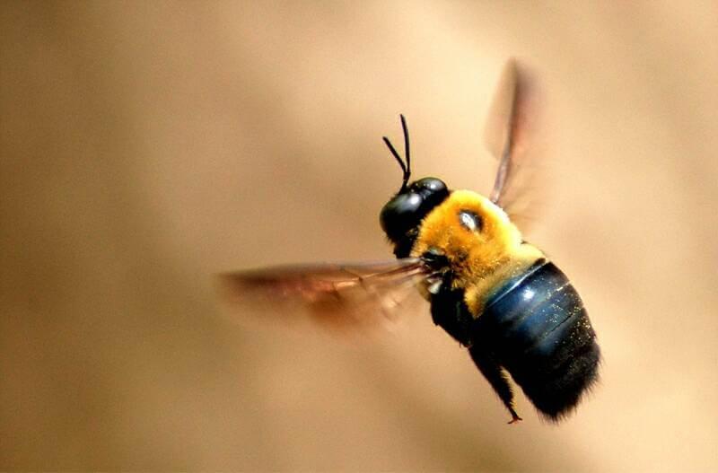 carpenter bee