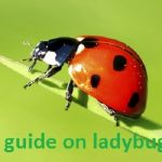 The Ultimate Guide On Ladybug Control