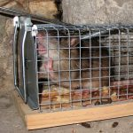 rat in a cage