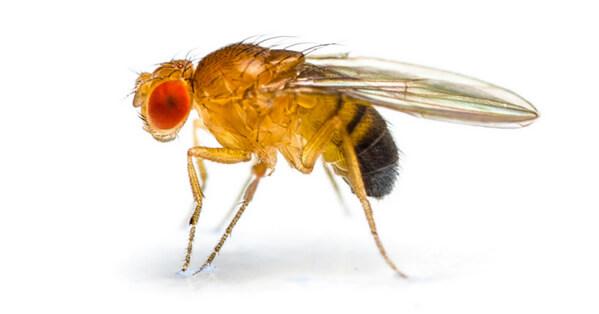 fruit flies vs gnat